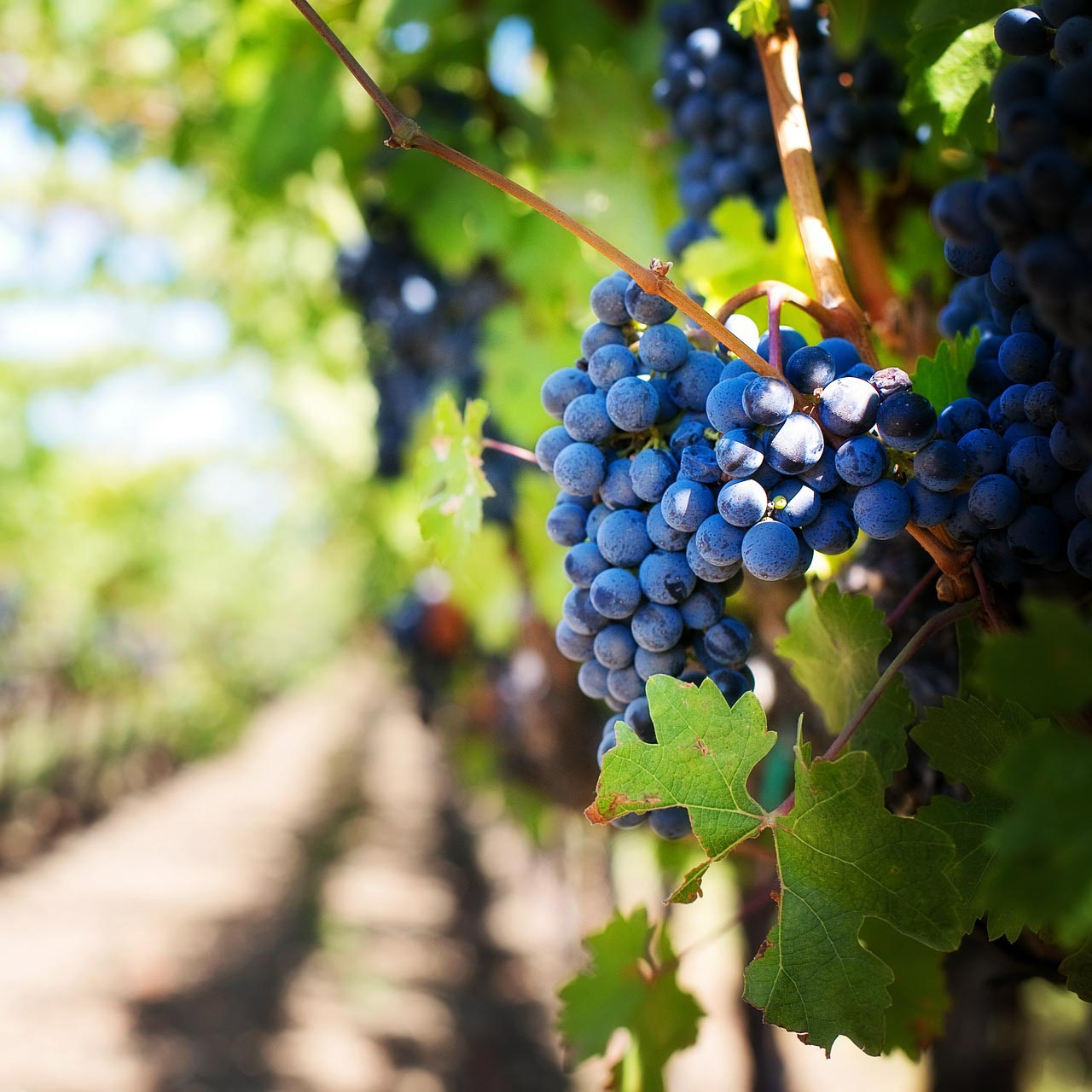 purple-grapes-553463_1920